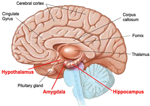Limbic Brain and the amygdala