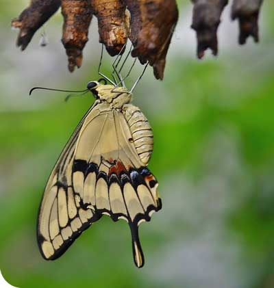 swallowtail butterfly emerging from a cocoon